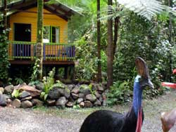 cassowary visiting the B&B
