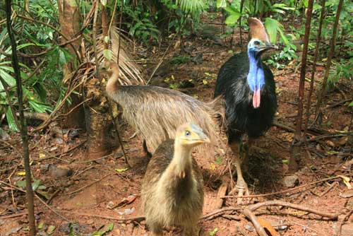 cassowaries outside your accommodation in cape tribulation