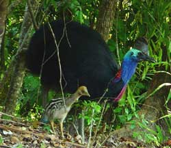 Click to enlarge, cassowary with chick at mission beach