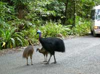 cassowaries on the road to cape tribulation