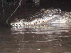 saltwater crocodile, one of the many daintree rainforest animals